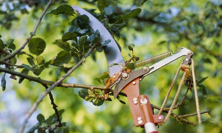 Prune A Tree With A Manual Pole Saw